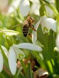 Snowdrop y abeja - macro Foto de archivo libre de regalías