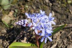 Snowdrop y una abeja Fotos de archivo