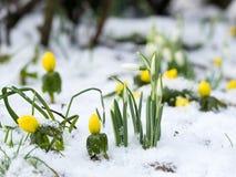 Snowdrops和菟葵在雪 库存图片