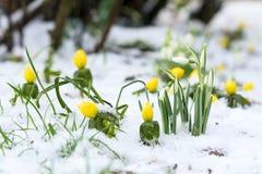 Snowdrops和菟葵在雪 图库摄影