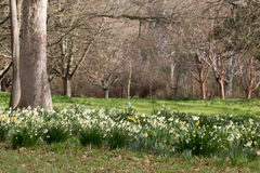 snowdrops和黄水仙沼地在庭院里 免版税库存图片