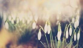 Snowdrops在公园或庭院自然背景,表面无光泽定调子,横幅的植物开花 免版税库存图片