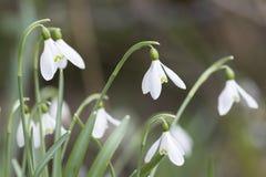 Snowdrops在冬天,康沃尔郡,英国 免版税图库摄影
