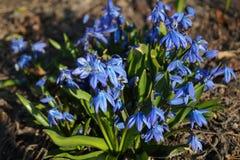 Snowdrops在我的太阳的庭院里 免版税库存照片