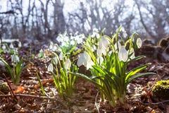 Snowdrops在春天树背景的森林  库存图片