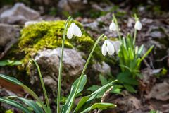 Snowdrops在春天 免版税库存图片