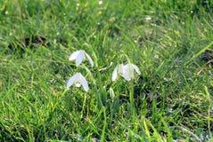 Snowdrops在春天 免版税库存照片