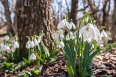 Snowdrops在森林里 库存图片