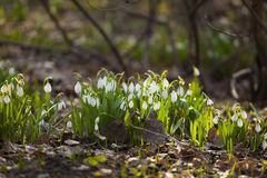 Snowdrops在森林里 库存照片