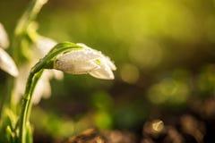 Snowdrops第一朵春天花 库存图片