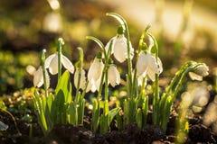 Snowdrops第一朵春天花 库存照片