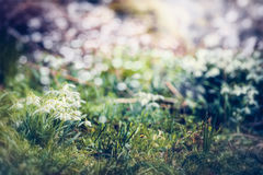 Snowdrops花,室外 与美好的春天自然场面的奇妙春天背景在庭院里 免版税库存图片