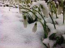 Snowdrops é as primeiras flores da mola foto de stock