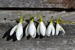 Snowdrops, ηλιόλουστη ημέρα, ξύλινος πίνακας Στοκ φωτογραφίες με δικαίωμα ελεύθερης χρήσης