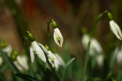 Snowdrops με το θολωμένο υπόβαθρο Στοκ εικόνα με δικαίωμα ελεύθερης χρήσης