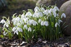 Snowdrops στον κήπο στην άνοιξη στοκ εικόνα
