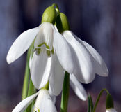 Snowdrops στο δάσος Στοκ Εικόνες