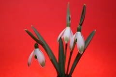 Snowdrops весной изолированное на красной предпосылке стоковое изображение