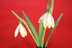 Snowdrops весной изолированное на красной предпосылке Стоковые Фотографии RF