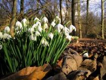 Snowdrops весной Стоковая Фотография
