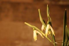 Snowdrops весной стоковое изображение rf