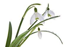 Snowdrops весны изолированные на белизне Стоковое фото RF