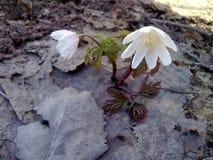 Snowdrops весны Стоковая Фотография RF
