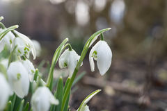 Snowdrops в зиме Стоковые Фото