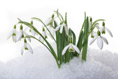 Snowdrops в изолированном снежке Стоковое Изображение