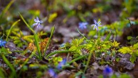 Snowdrops в лесе с травой на солнечном свете, крупным планом видеоматериал
