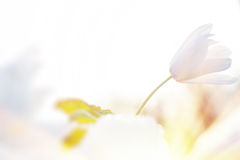 Snowdrops в предыдущей весне Стоковые Изображения RF