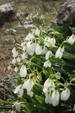 Snowdrops в цветени на скалистой земле Стоковые Фото
