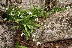 Snowdrops в цветени на скалистой земле Стоковые Изображения
