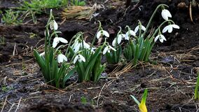 Snowdrops нежно пошатывает головы цветка от ветра видеоматериал