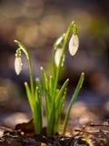 Snowdrops предусматривало в капельках воды Стоковая Фотография