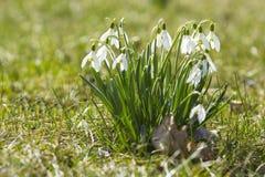Snowdrops просветило солнце Стоковые Изображения