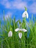 snowdrops травы Стоковая Фотография