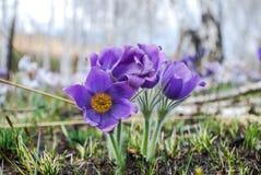 snowdrops Στοκ Εικόνες