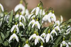 snowdrops Imagenes de archivo