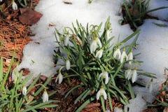snowdrops Images libres de droits