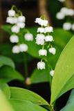 Snowdrops. The first signs off Spring - Snowdrops Royalty Free Stock Photos
