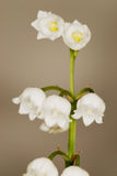 Snowdrops. The first signs off Spring - Snowdrops Royalty Free Stock Photography
