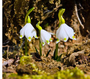 Snowdrops. Image of a spring snowdrops Stock Photography