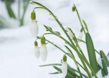 snowdrops 免版税库存照片