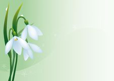 Snowdrops. Background with a bunch of first spring flowers Royalty Free Stock Photo