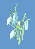 Snowdrops. First spring flowers Stock Photos