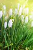 Snowdrops. In Springtime close up Stock Photo