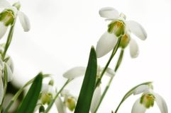 Snowdrops. Close up of snowdrops from a low angle white a clean white background Royalty Free Stock Photography