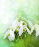 Snowdrops Royalty Free Stock Photos