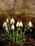 Snowdrops Photographie stock